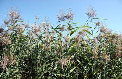 MAISRC Phragmites Photo